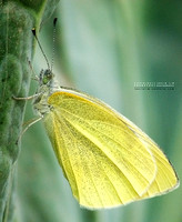 Butterfly on vegetable - in Xiang Yun Town